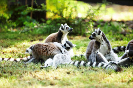 Lindo lemur kata photo