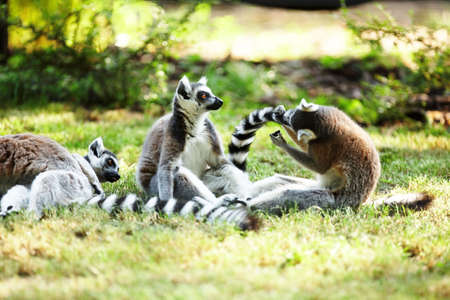 Cute lemur kata photo