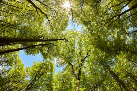 Bujny baldachim bukowego lasu jesienią Zdjęcie Seryjne