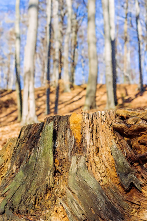 Old weathered tree stump in forest Stock Photo