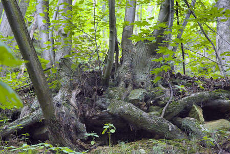 Primeval forest in South West Poland 스톡 콘텐츠