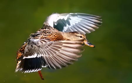 Mallard Duck Flying Over Flowing River