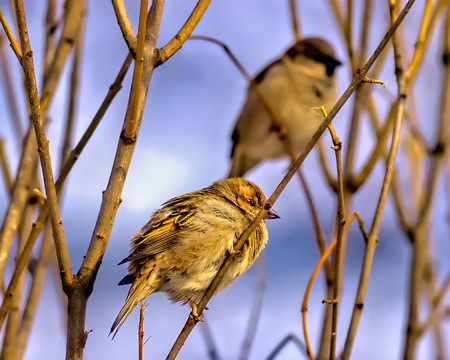 Two sparrows on the bushes