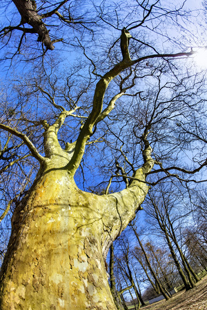 magnificent ancient plane tree in spring time 版權商用圖片