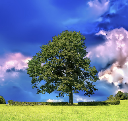 Magnificent ancient oak tree on the field