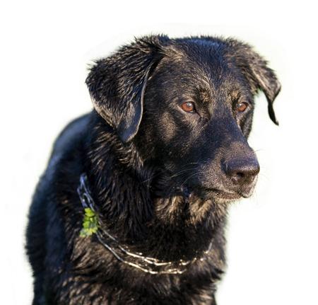 Cute wet dog cutout on white background 版權商用圖片