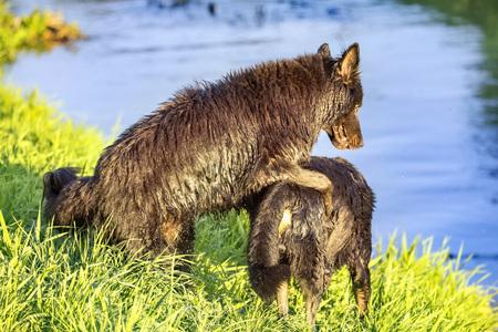 Two black German shepherd dogs playing on river bank
