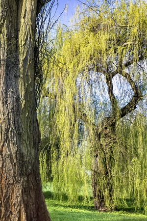 Amazing willow tree by the pond in the park 版權商用圖片