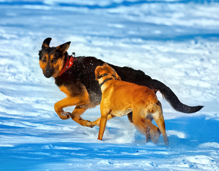 Dogs playing in the snow