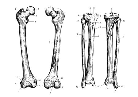 human bones scheme 向量圖像