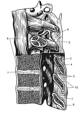 cervical connection scheme 版權商用圖片