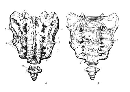 Ilustración de vector de sacro humano