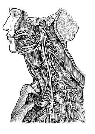 human nerve scheme 向量圖像