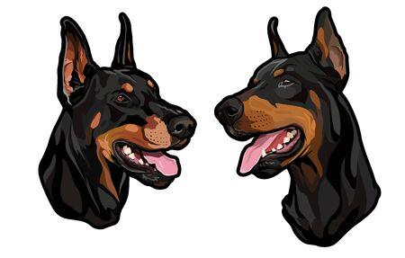 dog heads, doberman pinscher breed, full-color illustration