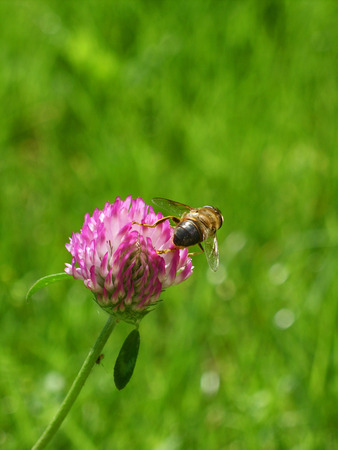 red clover: Bee collect pollen on red clover flower on green grass background Stock Photo