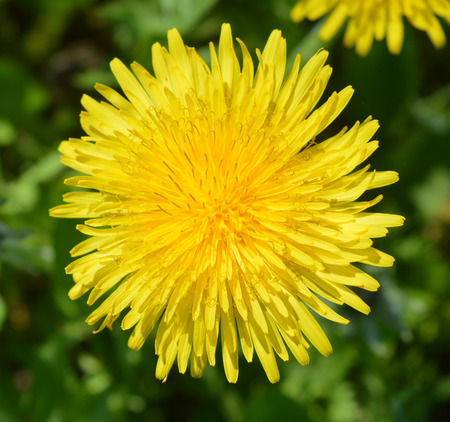 nature cure: Dandelion on a green background Stock Photo