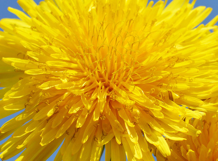 nature cure: Background from dandelion