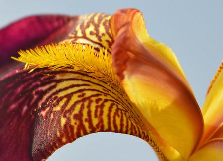 flor violeta: Burdeos flor del iris - Primer plano