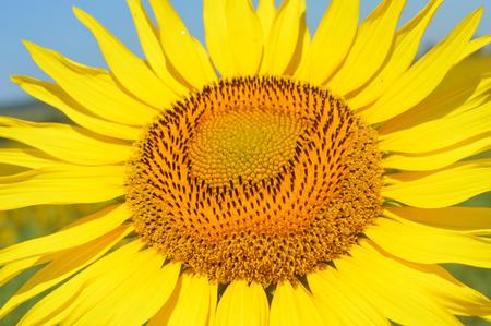 helianthus annuus: Helianthus annuus - Sunflower in bloom Stock Photo