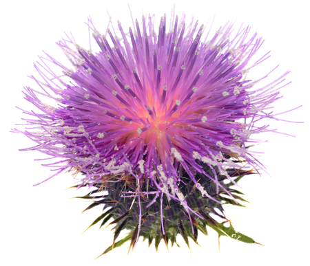 Milk thistle on the white background