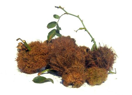 gall: Bedeguar gall on wild rose Rosehip Moss Stock Photo