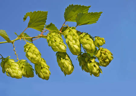 ferment: Branch of hop front of blue sky background