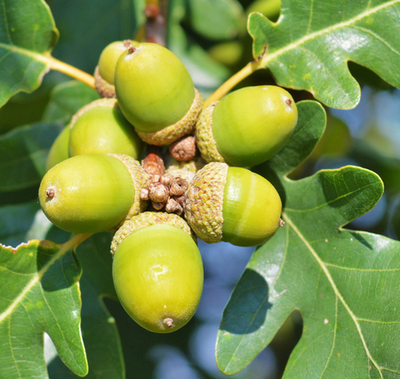 acorns: Green acorns on the tree