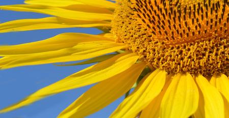 agro: Helianthus annuus - Sunflower in bloom Stock Photo