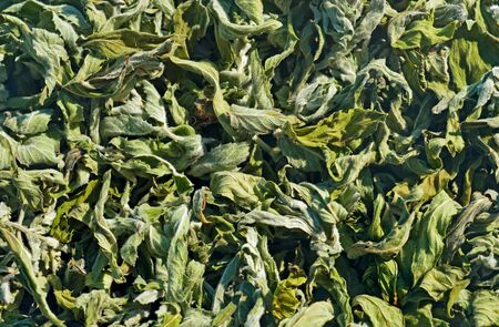 wild mint: Background from dried leaves of wild mint Stock Photo