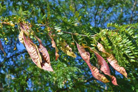 langosta: Vaina de �rbol de langosta de miel