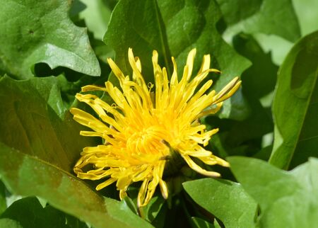 nature cure: Dandelion and leaves