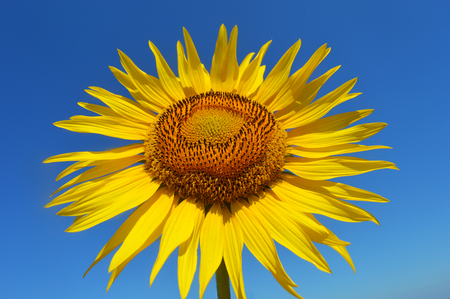 agro: Sunflower on a blue background