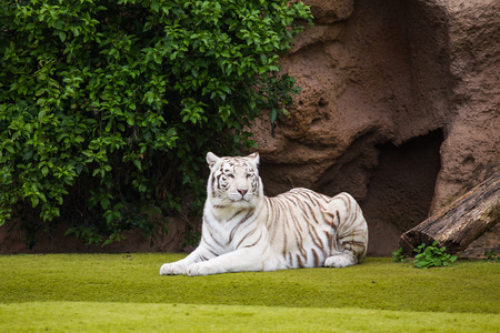 White tiger resting on the grass in the park Foto de archivo