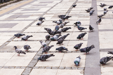 pigeon: flock of pigeons on the square in Istanbul Stock Photo