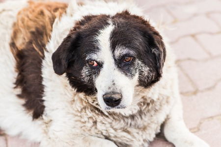 red eyes: Old homeless dog with sad red eyes