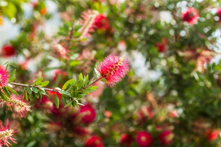 medow: fluffy red flower and a bee in a medow