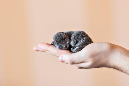 foreleg: Blue british kitten in mens hand, little kitten