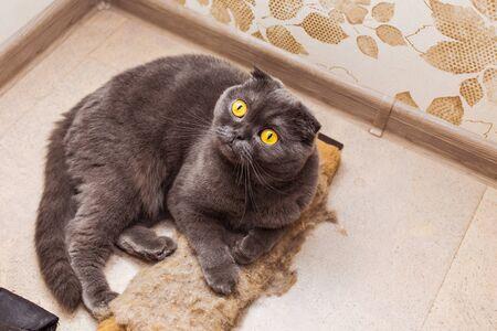 gray cat: fluffy gray beautiful adult cat, breed scottish-fold