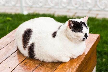 fat: white fat cat sitting with eyes closed