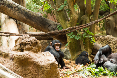 omnivore animal: Young Common Chimpanzee sitting in the wild