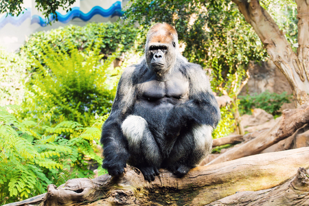 glower: Gorilla Sitting On The Tree. Great ape