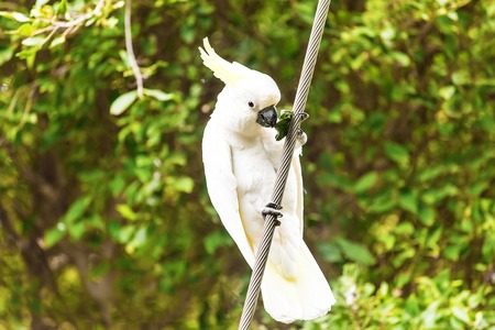 Beautiful white Cockatoo standing on a branch