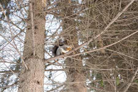 acorn tree: Red squirrel sitting on the tree. Winter