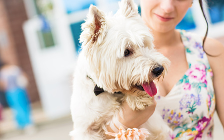 purebred dog: woman with cute west highland white terrier. Stock Photo