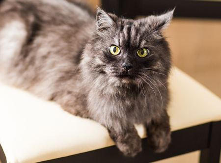 fluffy gray beautiful cat lying on a chair