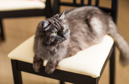 deftness: fluffy gray beautiful cat lying on a chair