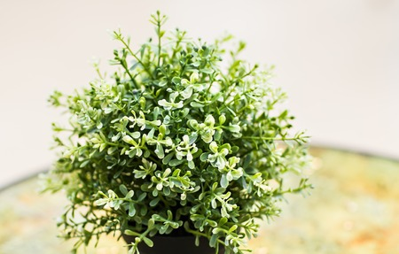 myrtle green: Home plant in pot on the table