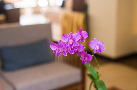 interiors: close up of beautiful purple orchid flower in interiors with blurred background.