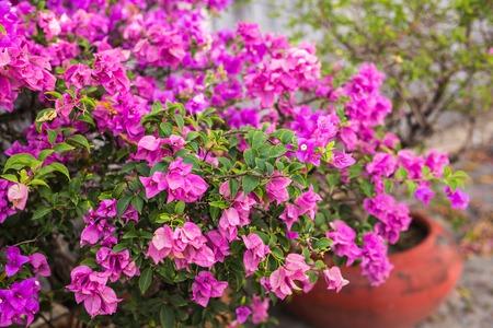 color bougainvillea: Bougainvillea paper flower in colorful color. Plant