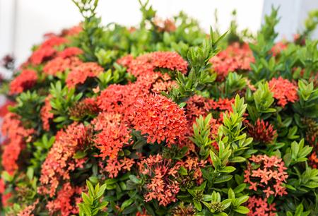 hydrangea macrophylla: Red Hydrangea flower in a garden. Hydrangea macrophylla